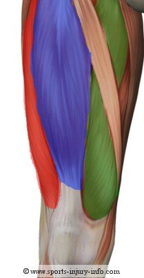 Quadriceps Anatomy