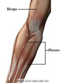 Elbow Muscles