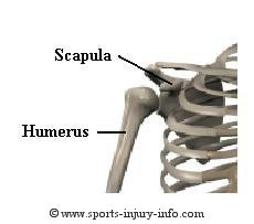 Shoulder Bones - Sports Injury Info