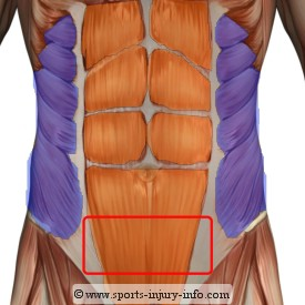 Abdominals Anatomy