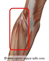 Lateral Epicondylitis - Muscles Affected