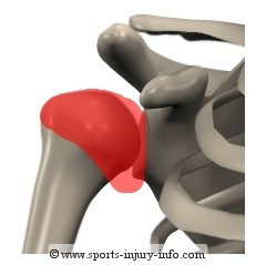 Shoulder Ligaments - Sports Injury Info
