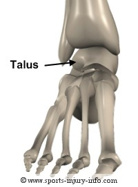 Foot Anatomy - Talus