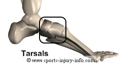 Foot Anatomy - Tarsals