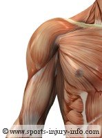 Shoulder Pain - Shoulder Muscles