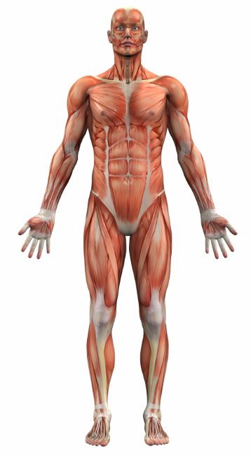 Human Anatomy for Sports Injuries - Sports Injury Info